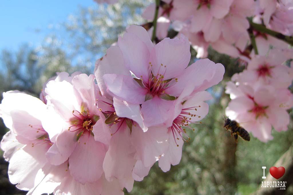 Flor de almendro y abeja