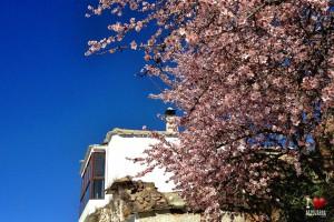 Almendros en flor enNarila