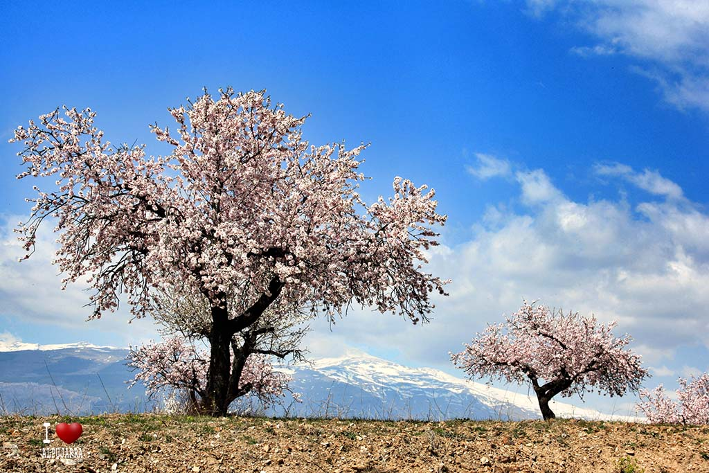 Almendros en flor con Sierra Nevada de fondo