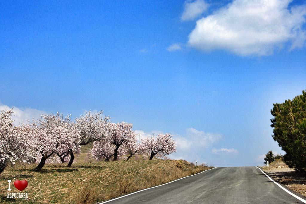 Almendros en flor en la carretera del Haza del Lino